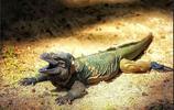 寵物圖集:犀牛鬣蜥
