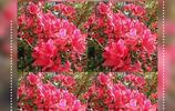 杜鵑花的芬芳