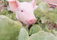 養豬技術八大寶典,教你真正的養好豬