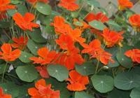 旱金蓮適合家庭盆栽,開的花非常漂亮,一顆種子就能爆盆