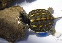 草龜、花龜飼養之我見,你會認可嗎?