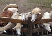 寓言|羊怎麼殺死獅子