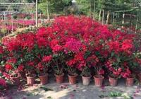 """這3種""""爬藤""""植物,養在陽臺最合適,花量大,很容易養成小花園"""