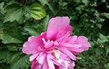 植物美圖:粉紫重瓣木槿