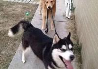 女孩讓2只狗狗聞自己的腳,金毛果斷拒絕,二哈的反應笑噴了