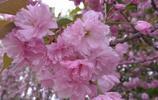 日本櫻花,西府海棠,漂亮的花