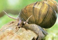田螺最害怕什麼?如何處理田螺對土壤的危害?