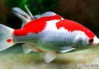 草金魚都成了飼料魚,別忘記草金魚也是觀賞魚,請認識紅白草金魚
