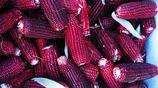 蔬菜攤原先只批發黃玉米每天只賣幾十斤 增加黑玉米、白玉米、花玉米後每天能賣1000多斤
