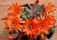 很多人將白檀仙人掌誤以為是鼠尾仙人掌,開花特別好看