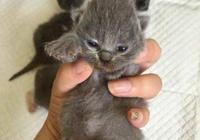 花大錢買了一隻小藍貓,養了一年主人快氣哭:實在吸不動!