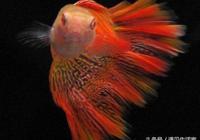 孔雀魚品鑑全攻略,終於找全了,只要3點鑑別孔雀魚是否是極品