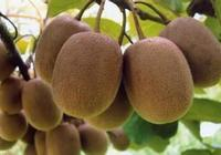 紅心獼猴桃與普通獼猴桃到底差別在哪裡