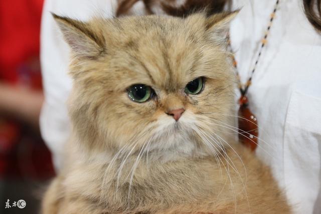 為主人而生的天使——加菲貓的由來