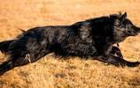 動物圖集:比利時牧羊犬