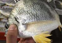 海邊農民捕到的黑鯛魚和黃鯛魚為什麼價格相差那麼大,兩者有什麼差別嗎?