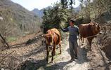 陝西55歲大叔深山裡生活,住破房子種20畝地養兩頭牛,至今打光棍