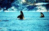 深海動物圖集:深水中的王族虎鯨