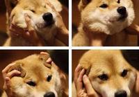 柴犬太可愛,讓人忍不住去捏柴犬臉,它會生氣嗎?