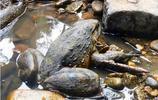 非洲巨蛙,1米高重6斤,生活挑剔面臨滅絕,婚禮大菜堪比龍蝦!