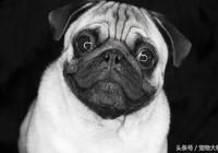 巴哥犬 俗稱哈巴狗