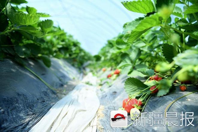 """翠色田園""""520草莓採摘季"""",相約佳人摘草莓去吧"""