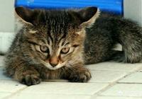 狸花貓的野性有多大?