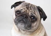 最適合女生養的10種小型犬,泰迪最受歡迎
