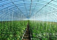 蔬菜大棚種植技術和大棚蔬菜種植前景