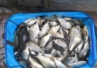 分享一款野釣鯽魚的神餌—燕麥的製作方法和使用技巧