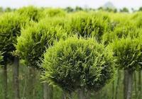 苗木生長期快速生長的五大關鍵點!