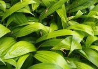 霍山野生白芨種植方法 白芨的市場效益!