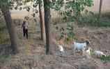 實拍安徽濉溪,田間地頭餵羊的彎腰老人,讓你感受真實的農村生活