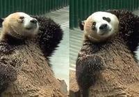 最皮熊貓走紅,用沙子塗滿全身,網友調侃:這下飼養員有得忙了!
