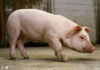豬場急救大全,豬低溫症的急救措施