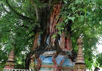 你中有我,我中有你的愛情塔——樹包塔