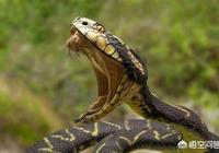 蟒蛇怕蛇毒嗎?