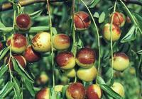 如何確定棗子的採收期?