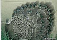 世界上的8種孔雀雉,網友:感覺比孔雀還漂亮!