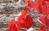 在古城開封一段城牆內坡附近經過,沒想到會欣賞到如此美麗的紅葉