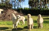 新西蘭羊駝農莊體會生命的感動
