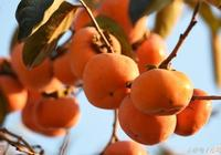 """農村老人常說""""男怕柿子,女怕梨"""",這是為什麼呢"""