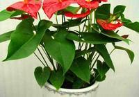 5個小竅門,就能把火鶴養的花豔葉美