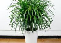 怎樣給大龍鬚樹換花盆?