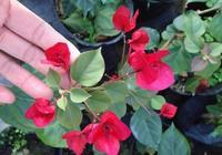 三角梅用這個方法來扦插,幾天就能長根,開花還特別早!