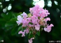 鷓鴣天:紫薇十唱