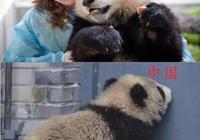 美國養熊貓VS中國養熊貓,中國的為什麼這麼髒,是不會養嗎!