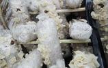 """木耳新品種玉木耳,被譽為木耳界的""""白富美"""",是扶貧的好項目"""