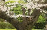 華盛頓的櫻花村