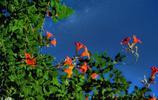 《致橡樹》中說的凌霄花你知道是什麼樣子的嗎?